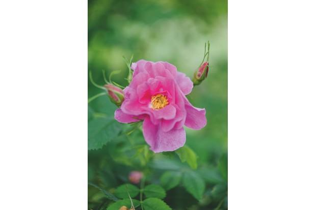 Wild rose R. nutana 'Plena'