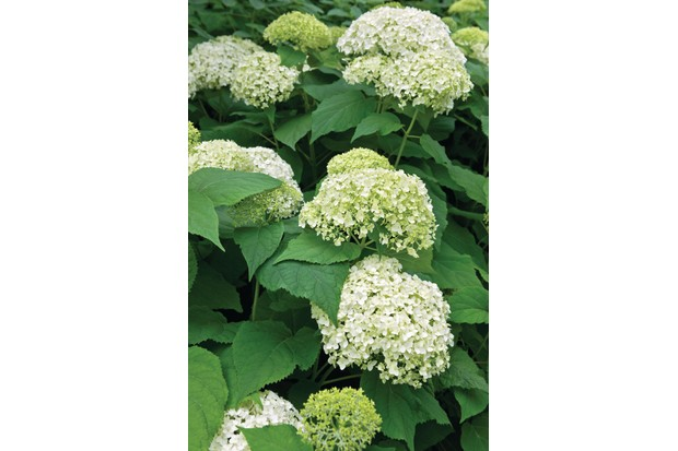Hydrangea Arborenscens 'Annabelle' has large meringue like heads in a soft shade of green with large leaves