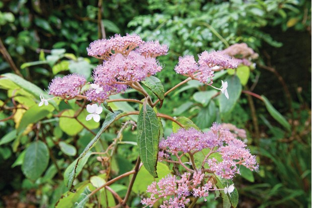 Hydrangea aspera has soft, velvety, dark-green leaves and large, lacecap flower heads of purple, fertile flowers and pale, lilac-mauve sterile florets