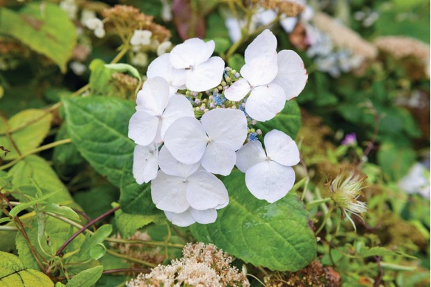 Hydrangea macrophylla 'Veitchii' is a small, bushy lacecap hydrangea with blueish fertile flowers and large, white, sterile florets that turn pink as they age