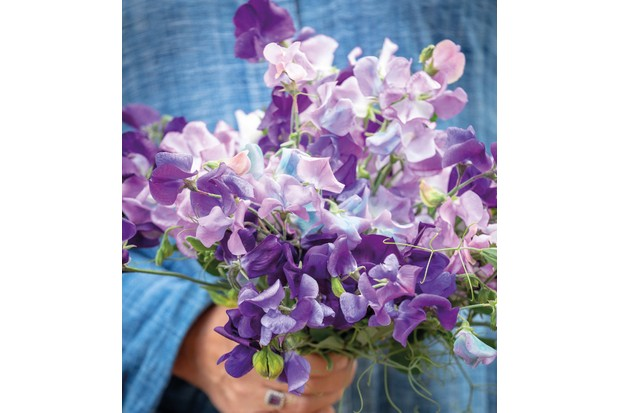 Sarah Raven's Blue Sweet Pea Collection