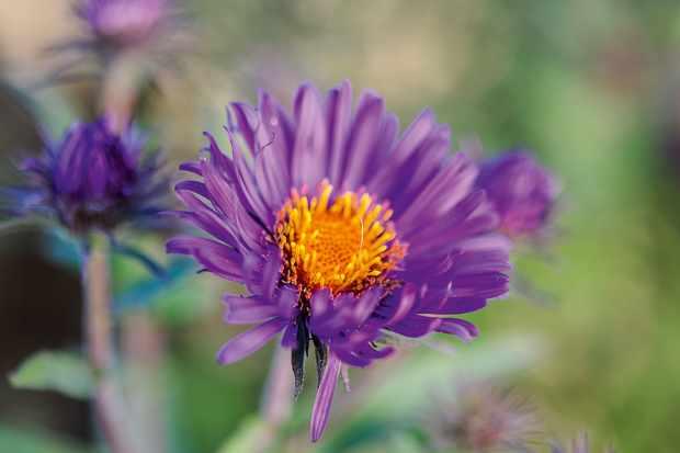 Symphyotrichum novi-belgii 'Violetta'. Photo: Jason Ingram