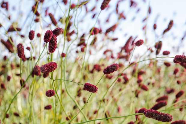 Sanguisorba officinalis 'Red Buttons'. Photo: Jason Ingram.