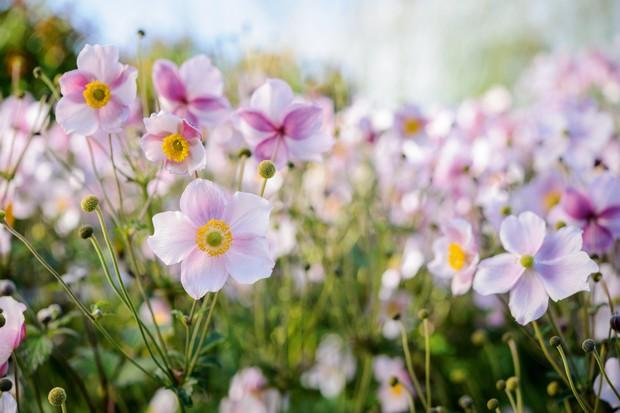 Anemone x hybrida 'Robustissima'. Photo: Jason Ingram