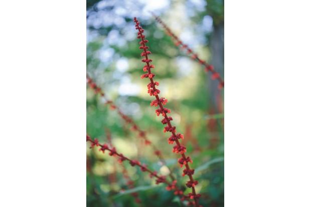 Salvia Confertiflora /m/loader/final_group_loader/GI 190/GI190_P020-023_nurserymansfaves/ October Plants