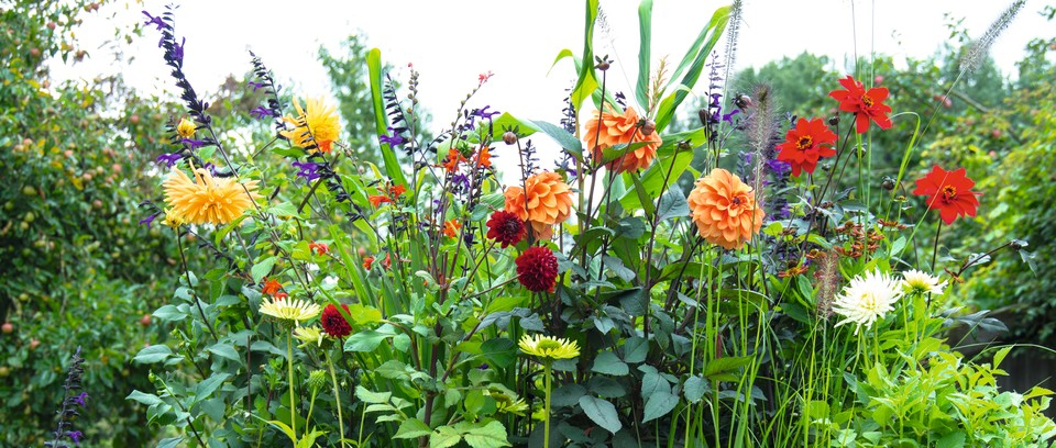 Create This Gorgeous Dahlia Planting Combination Gardens Illustrated