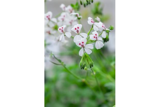 Pelargonium echinatum album