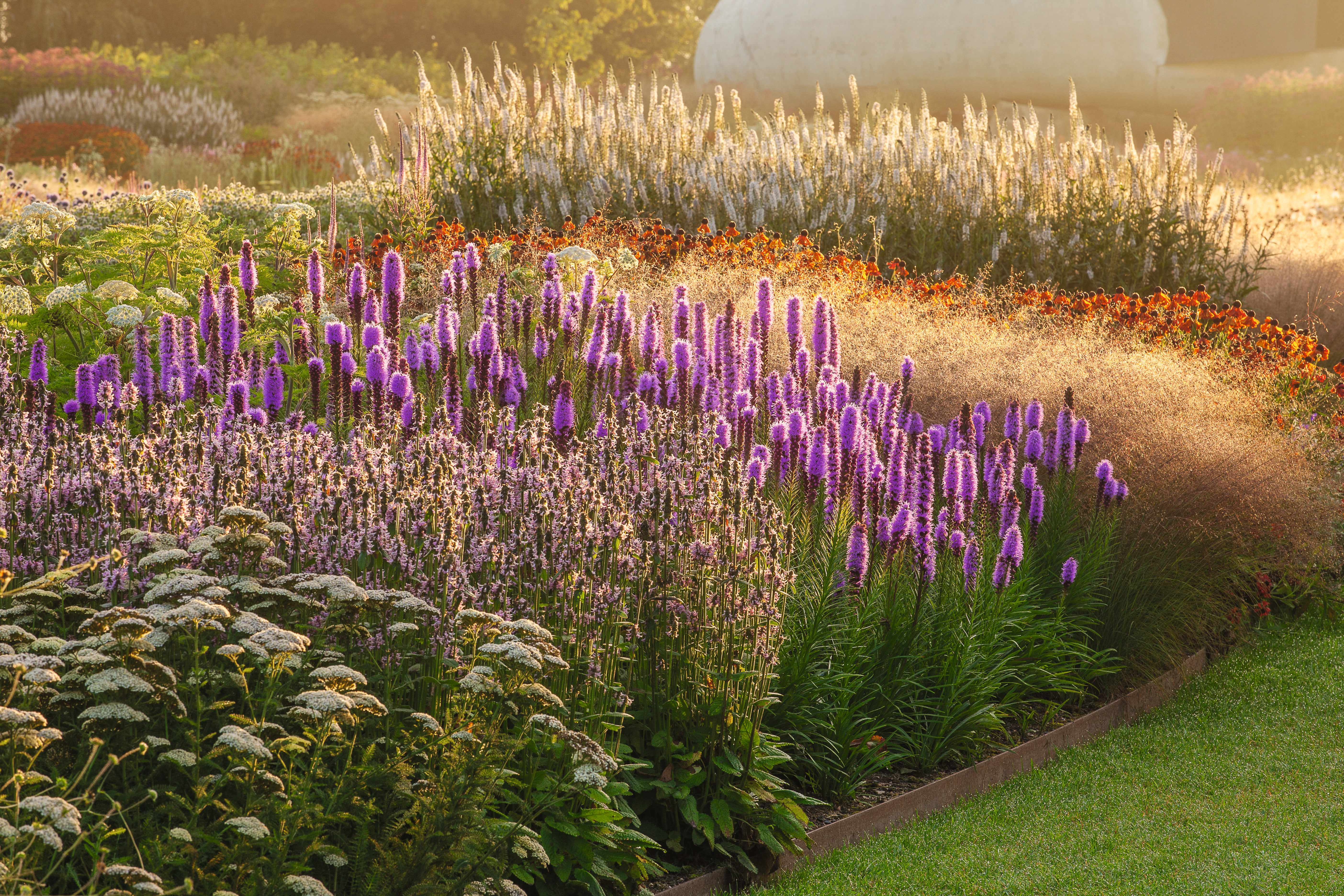HAUSER & WIRTH, SOMERSET: THE OUDOLF FIELD, DURSLADE FARM - NEW PERENNIAL BORDER AT SUNRISE BY PIET OUDOLF - LIATRIS SPICATA, HELENIUM MOERHEIM BEAUTY