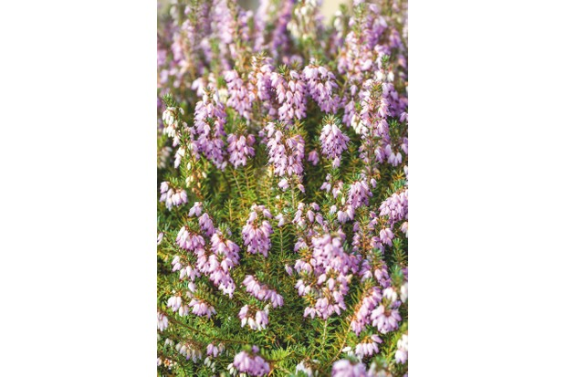 Winter flowering heather