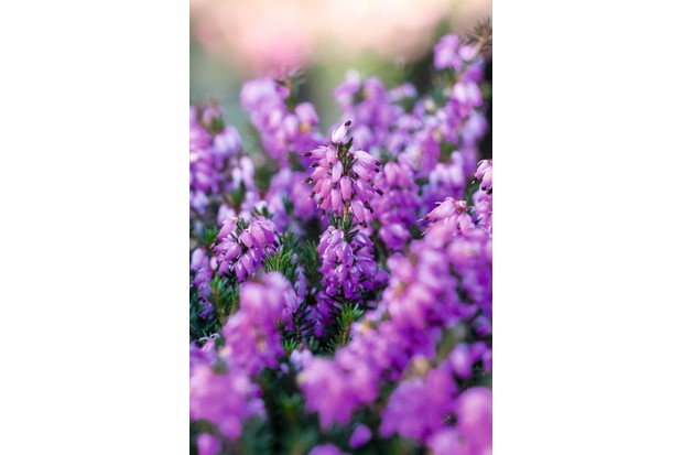 Winter-flowering heather