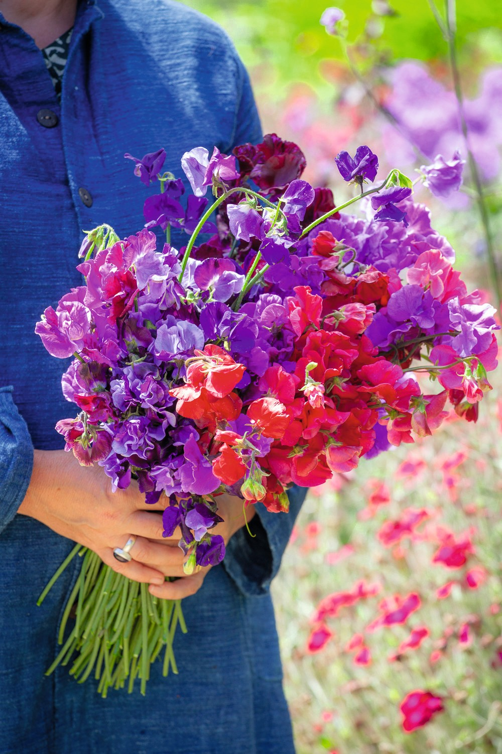 Bunch of sweet peas. Lathyrus odoratus 'Bouquet Crimson', 'North Shore', 'Bouquet Navy', 'Pip's Maroon', 'Millenium' and 'Richard and Judy'