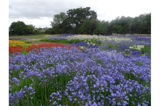 A beautiful sight - Broadleigh Bulb's Agapanthus collection growing in the nursery fields.