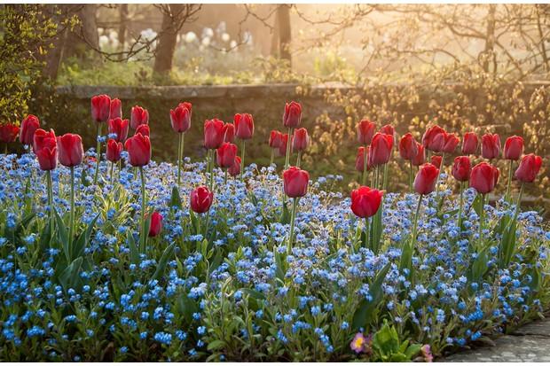 Dixter Tulips