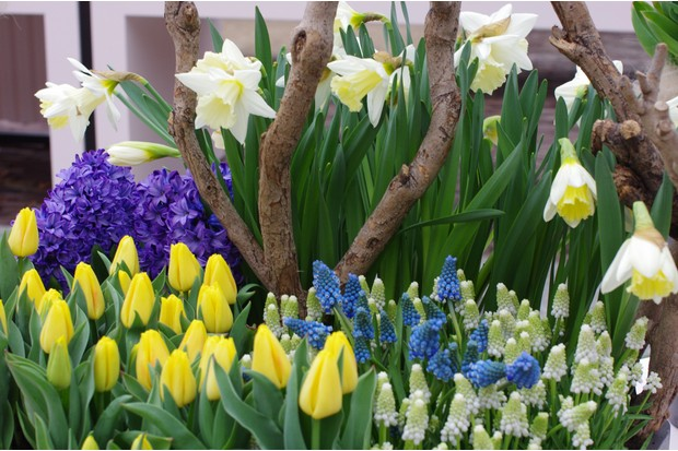 This display by Peter Nyssen includes Muscari 'Blue Spike', Narcissus 'Mount Hood' and Tulip 'Yellow Flight'.