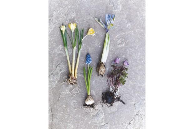 Iris reticulata 'Katharine Hodgkin', Crocus chrysanthus 'Romance', Muscari armeniacum and Anemone blanda 'Charmer'