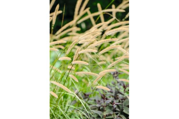 Pennisetum macrourum