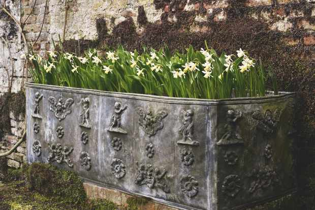 Container display using a mass-planting of daffodils