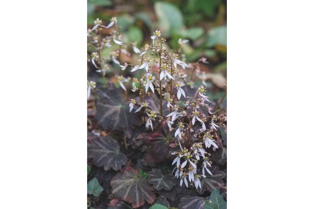 Saxifraga cortusifolia Silver Velvet