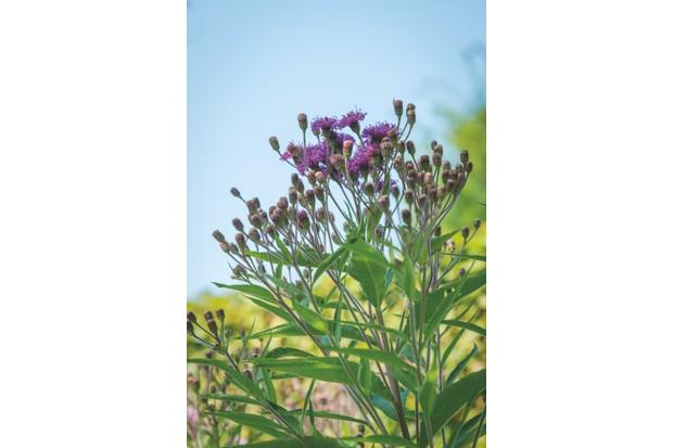 Vernonia crinita. Photo Maayke de Ridder