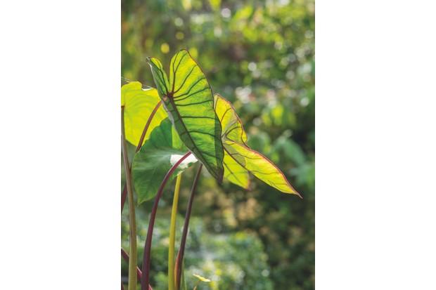 Colacasia esculenta Blue Hawai