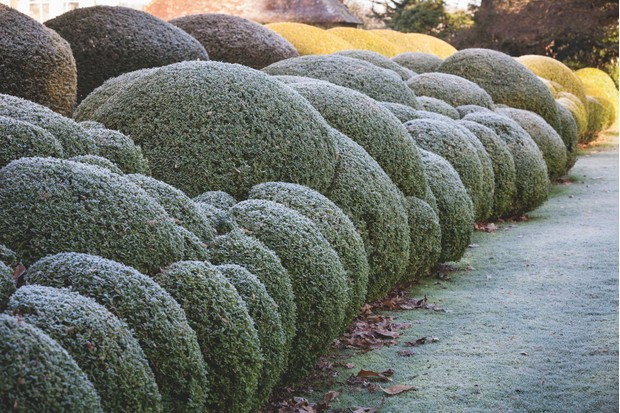Buxus sempervivens cloud pruned hedge. c. Richard Bloom