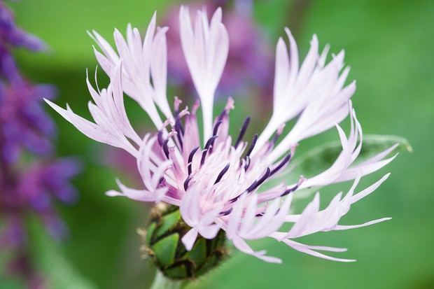 Centaurea montana 'Carnea' growing up through Salvia verticillata 'Purple Rain' (Whorled clary)