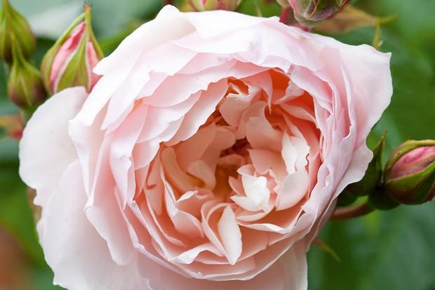 Rosa The Generous Gardener = 'Ausdrawn' AGM