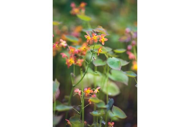 Epimedium hybrid