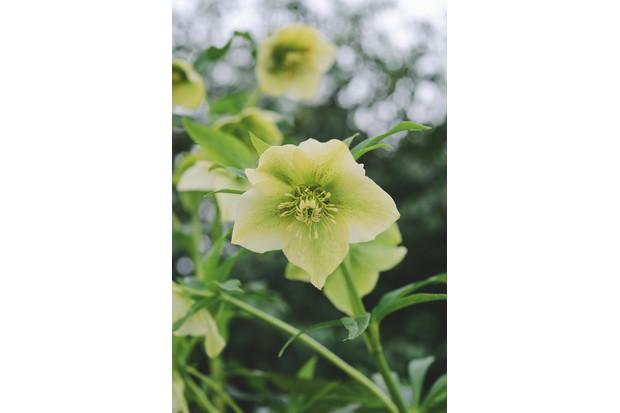 Helleborus orientalis 'Yellow Lady'