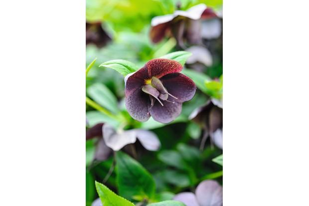 Helleborus x hybridus 'Harvington Red'