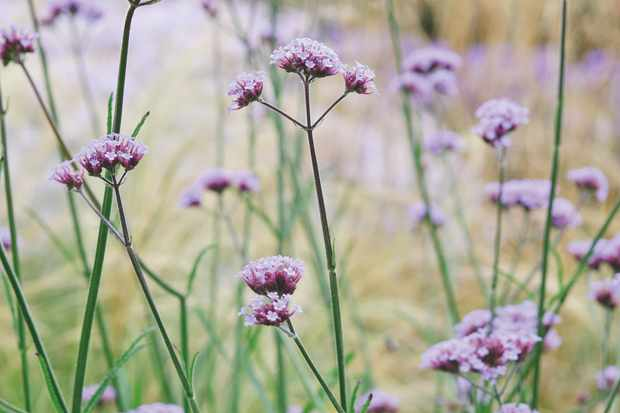 Verbena Bon 'Lollipop'. Photo: Jason Ingram