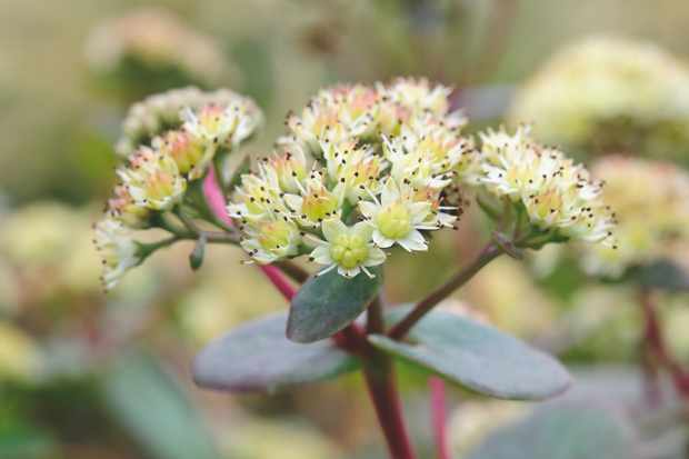 Sedum Ruprechtii. Photo: Jason Ingram