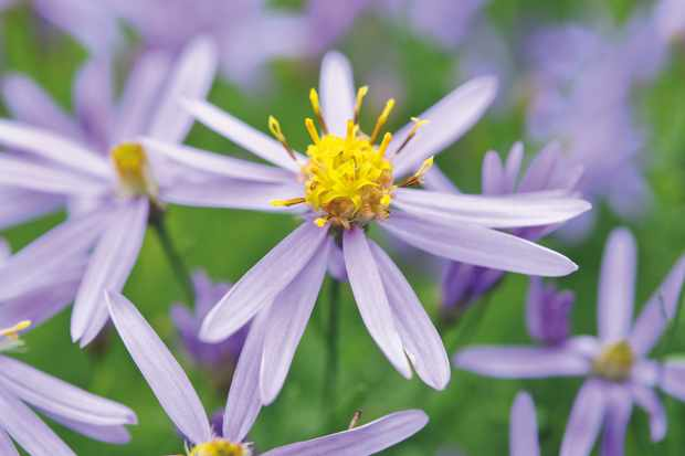 Aster Sedifolius Nana. Photo: Jason Ingram