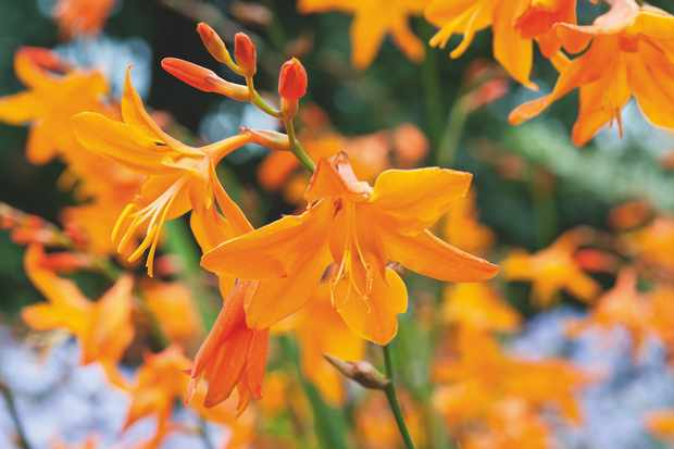 Crocosmia 'Star of the East'. Photo: Jason Ingram