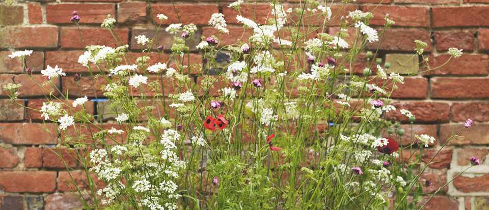 Galvanised water tank filled with wildlife-friendly plants poppies, dianthus and Orlaya Grandiflora