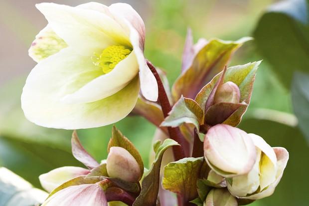 Helleborus x ericsmithii 'Winter Sunshine'
