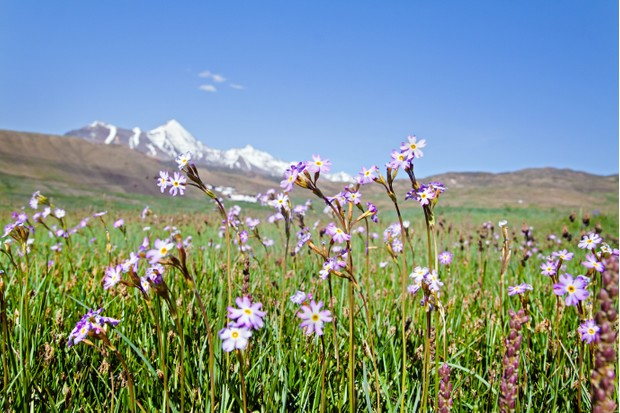 By winter the himalayan mountains are blanketed in snow but during the short summer months when the snow has melted from all but the highest himalayan peaks meadows of wild flowers abound.