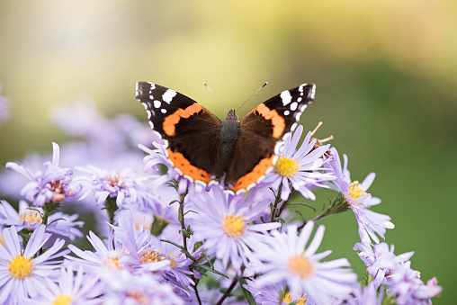 Red Admiral Butterfly collecting pollen from Autumn Aster flowers