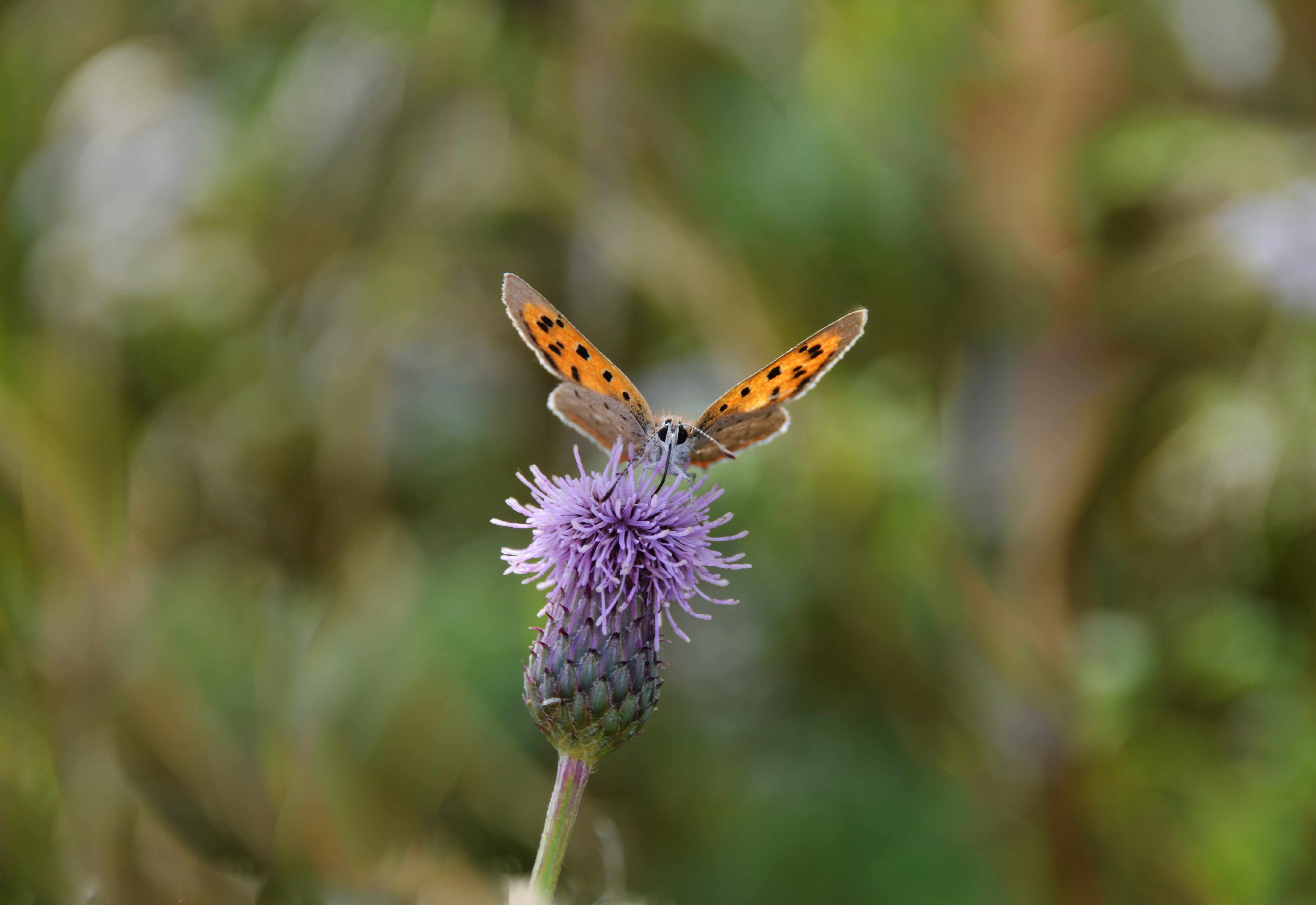 A small copper butterfly taking a drink of nectar from a thistle head flower, summer days.