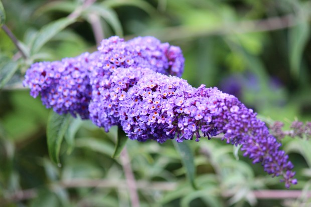 Photo showing the large purple flowers of a buddleia tree growing in the wild (Latin name: Buddleja davidii). This is also known as a 'butterfly bush', as the extremely fragrant flowers are often covered in colourful peacock butterflies.