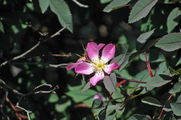 Single rose flowers with petals pink shading to white in center. Leaves very deep green.