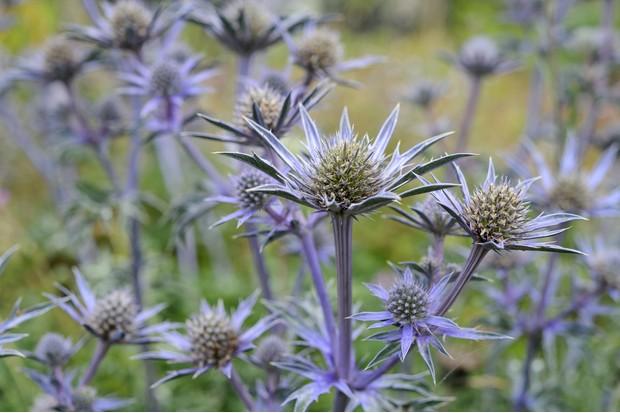 Eryngium bourgatii 'Picos Blue'. Photo: Jason Ingram