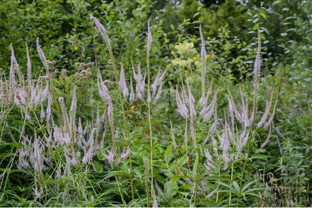 Veronicastrum virginicum 'Lavendelturm'. Photo: Jason Ingram