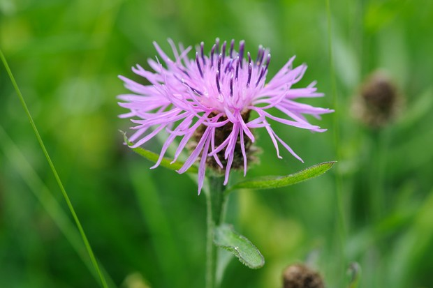 Centaurea nigra (Common Knapweed - Rayed form)