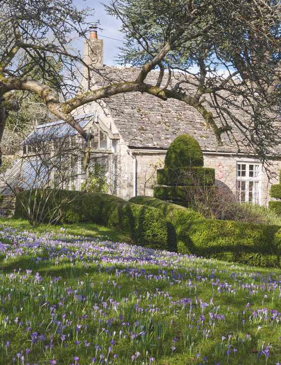 Naturalised crocus planted in a lawn under a mature tree framing a typical Cotswold house in the distance