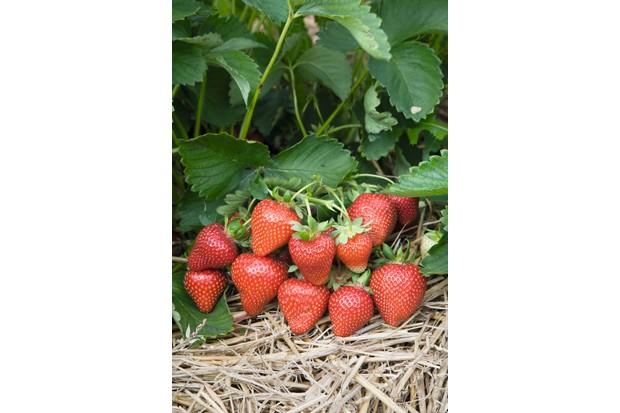 Strawberry - Fragaria x ananassa 'Sweetheart'