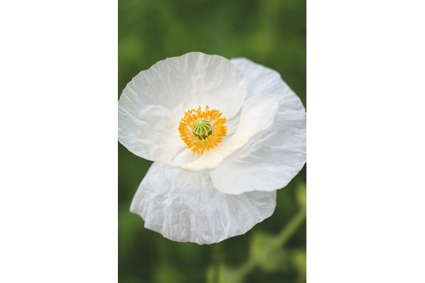 Papaver rhoeas Bridal Silk