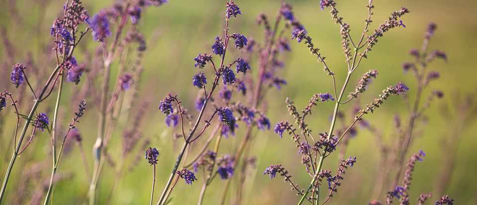 Salvia nutans, Wildflower, Transylvania, Romania.