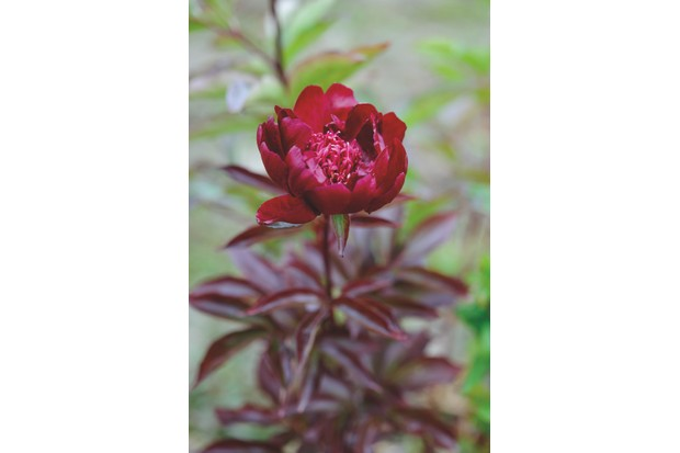 Paeonia lactiflora 'Hot Chocolate' c Jason Ingram