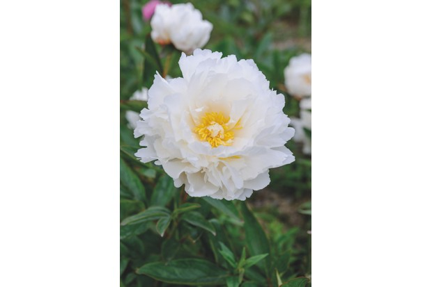 Paeonia lactiflora 'Bowl of Cream' c. Jason Ingram